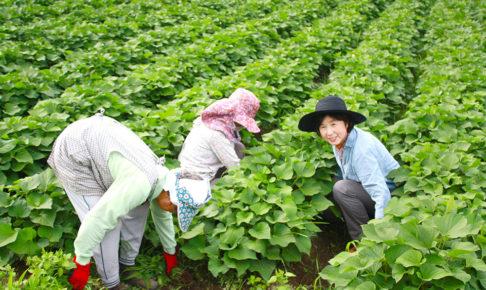 小倉乾燥芋の芋畑にて